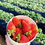 U-pick strawberries